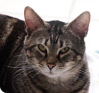 Domestic Shorthair Cat for adoption in Maynardville, Tennessee - Ray Ray
