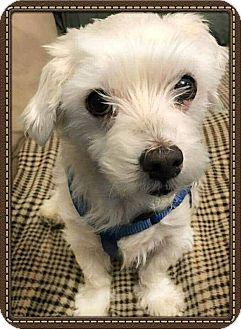 Maltese Mix Dog for adoption in San Diego, California - Chunk