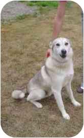 Husky Mix Dog for adoption in Walker, Michigan - Chico