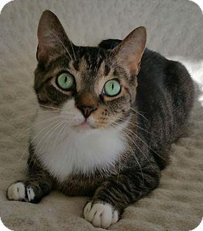 Domestic Shorthair Cat for adoption in Carlisle, Pennsylvania - MemphisMcPurr