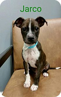 Boston Terrier Mix Puppy for adoption in Plainfield, Illinois - Jarco