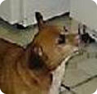 Chihuahua Mix Dog for adoption in DeLand, Florida - MILO