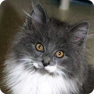 Domestic Mediumhair Kitten for adoption in Port Angeles, Washington - Blitzen