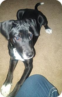 Labrador Retriever Mix Puppy for adoption in Union City, Tennessee - Benedict