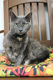 Domestic Shorthair Cat for adoption in Paris, Maine - Aurora