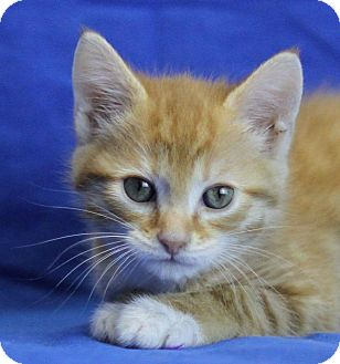 Domestic Shorthair Kitten for adoption in Winston-Salem, North Carolina - Maple