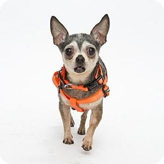 Chihuahua/Mixed Breed (Small) Mix Dog for adoption in Decatur, Georgia - Fivel