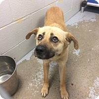 Shepherd (Unknown Type) Mix Puppy for adoption in Jersey City, New Jersey - Eve Plumb