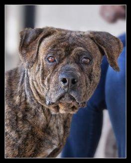 Mastiff Mix Dog for adoption in Wickenburg, Arizona - Bart