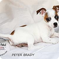 Adopt A Pet :: Peter Brady - Shawnee Mission, KS