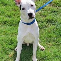 American Pit Bull Terrier/Hound (Unknown Type) Mix Dog for adoption in Spring City, Pennsylvania - Frank