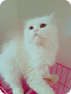 Persian Cat for adoption in Woodland Park, New Jersey - Ariele Purrsian