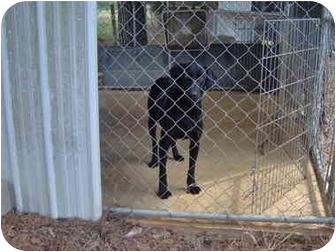 Labrador Retriever Mix Dog for adoption in Cairo, Georgia - Mapel