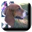 Basset Hound Dog for adoption in Marietta, Georgia - Harper