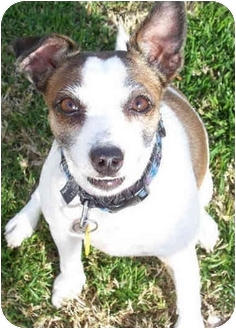 Jack Russell Terrier Mix Dog for adoption in Phoenix, Arizona - INDY