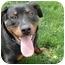 Photo 1 - Rottweiler Mix Dog for adoption in West Richland, Washington - Fritz