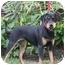 Photo 2 - Rottweiler Mix Dog for adoption in Austin, Texas - Sheeba