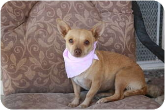 Chihuahua Dog for adoption in California City, California - Bambi