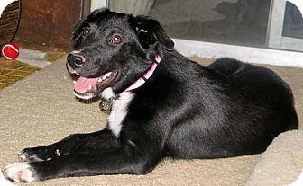 Border Collie Mix Dog for adoption in Houston, Texas - Lily
