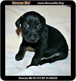 Doberman Pinscher Mix Puppy for adoption in killeen, Texas - DOBIE-MIX PUPS