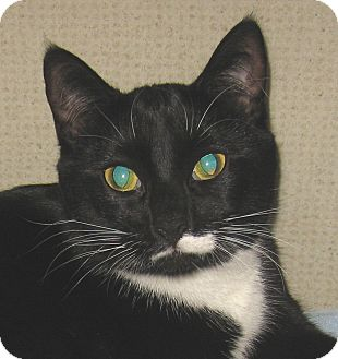 Domestic Shorthair Cat for adoption in Hamilton, New Jersey - L.B. - 2013