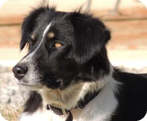 Border Collie Dog for adoption in Oliver Springs, Tennessee - Bonny