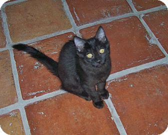 Domestic Shorthair Kitten for adoption in Scottsdale, Arizona - Blossom