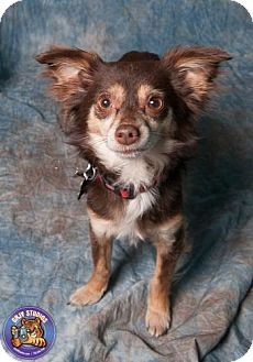 Chihuahua Mix Dog for adoption in Las Vegas, Nevada - Gizzy