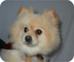 Pomeranian Dog for adoption in Antioch, Illinois - Brianna (Annie) ADOPTED!!