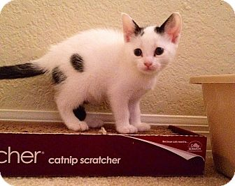 American Shorthair Kitten for adoption in Tampa, Florida - Bianca