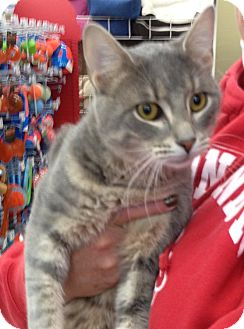 Domestic Shorthair Cat for adoption in Troy, Ohio - Tucker