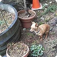 Adopt A Pet :: Pip - Poulsob, WA