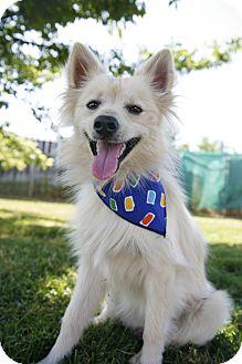 American Eskimo Dog/Chihuahua Mix Dog for adoption in Sacramento, California - Casper