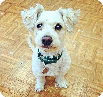 Poodle (Miniature) Mix Dog for adoption in Oak Park, Illinois - Ralphie