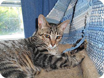 Domestic Shorthair Kitten for adoption in Richland, Michigan - Sue