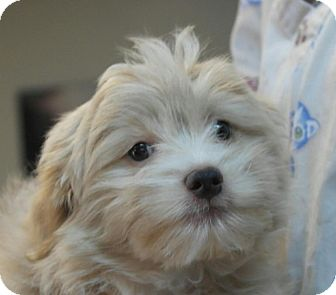 Shih Tzu Mix Puppy for adoption in Seneca, South Carolina - Loki $250