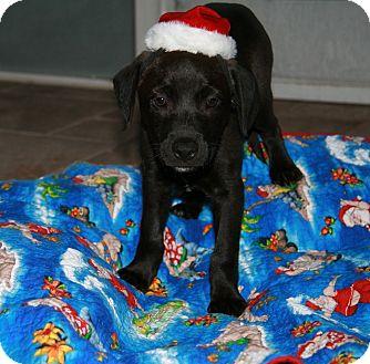 Labrador Retriever Mix Puppy for adoption in Wellington, Florida - GRAY