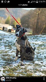 Catahoula Leopard Dog Mix Dog for adoption in Prestonsburg, Kentucky - charliegh