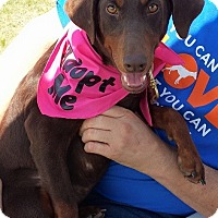 Adopt A Pet :: NOLA - killeen, TX