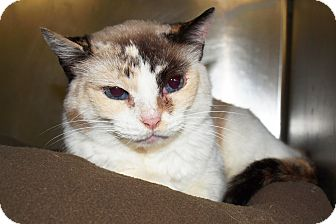Snowshoe Cat for adoption in Jackson, Mississippi - Blue Eyes
