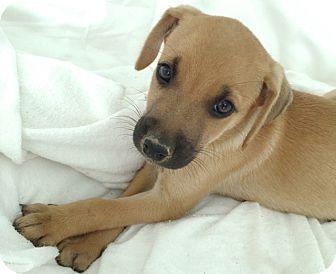 Labrador Retriever/Spaniel (Unknown Type) Mix Puppy for adoption in Middlesex, New Jersey - Kris Kringle