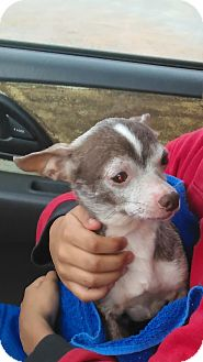 Chihuahua Mix Dog for adoption in Wallingford Area, Connecticut - Charles