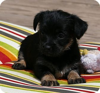 Terrier (Unknown Type, Small) Mix Puppy for adoption in Pennigton, New Jersey - Shine