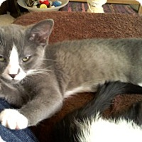 Adopt A Pet :: Braclet - North Highlands, CA