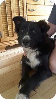 Border Collie Mix Dog for adoption in Reno, Nevada - Stanley