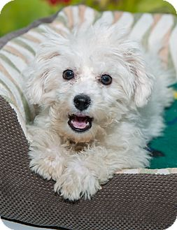 Maltese/Miniature Poodle Mix Puppy for adoption in New York, New York - Francois