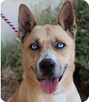 Husky/Shepherd (Unknown Type) Mix Dog for adoption in Red Bluff, California - PRECIOUS