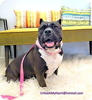 American Staffordshire Terrier/English Bulldog Mix Dog for adoption in Hermosa, California - Smooch