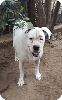 Boxer Mix Dog for adoption in Cat Spring, Texas - Fran's Jack