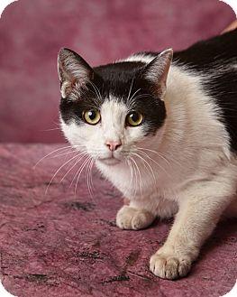Domestic Shorthair Cat for adoption in Harrisonburg, Virginia - Ziggy